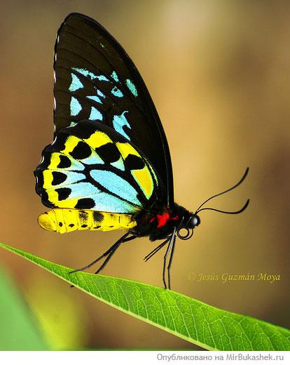 Автор: Admin Дата: 10.11.2013 Описание: Красивые бабочки нашей планеты - LifeGlobe.net.  Для получения ссылки на...