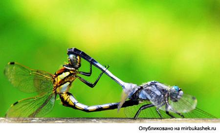 Стрекозы акробаты