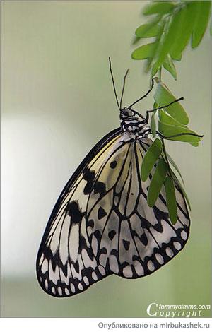 Скромная бабочка