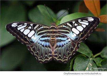 Голубая бабочка из Малазии