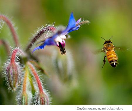 Пчела и медуница