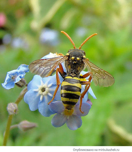 Пчела на голубом цветке
