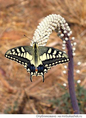Подорожник и бабочка