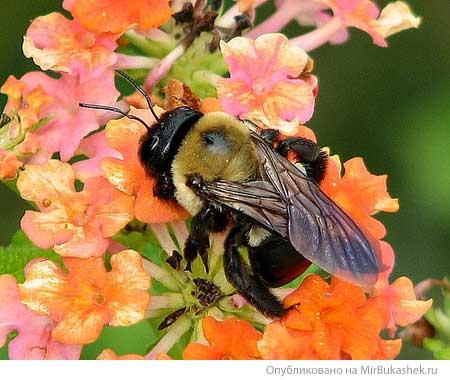 Флокс и пчела