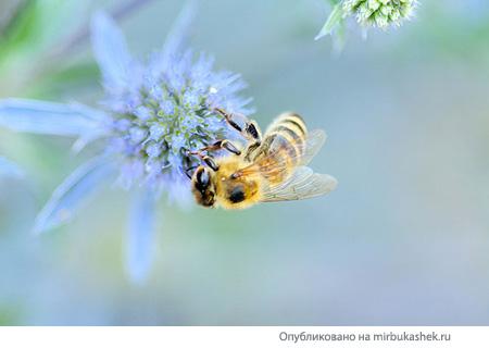 Пчела на колючке