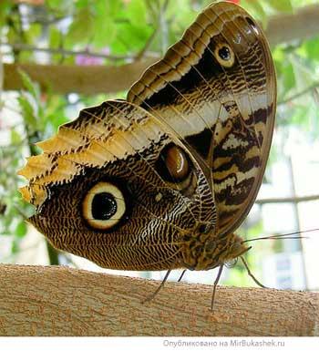 Бабочка Совиный глаз