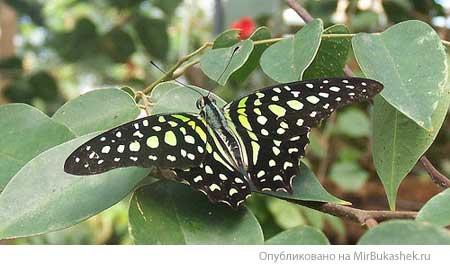 Бабочка леопард