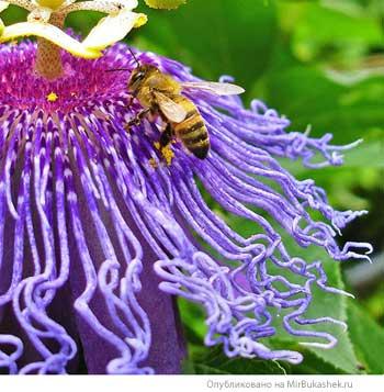 Пчела и пассифлора